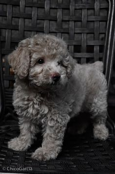 Looks like my baby when she was young, only she's black ♥ #poodlepuppy