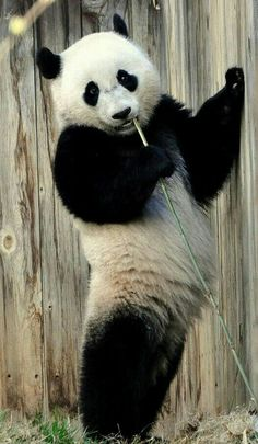 Standing Panda Bear!