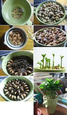 Small Plant Grown From Lemon Seeds. Soak lemons seeds overnight Gently remove outer layer of seeds Put back into water as you prepare soil. Plant lemon seeds in a circle pattern. Place small pebbles on top of seeds Water occasionally and watch it gro Vegetable Garden, Garden Plants, Indoor Plants, House Plants, Citrus Garden, Nature Plants, Bonsai Garden, Garden Bed, Container Gardening