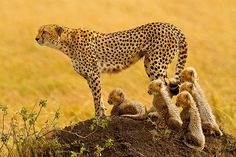 """The Matriarch"" - Cheetah with 5 cubs in the Masai Mara by Stephen Oachs (ApertureAcademy.com), via Flickr"