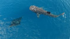 "poldberg: "" Giant Manta Ray and Whale Shark swimming together from above. [from this video] """