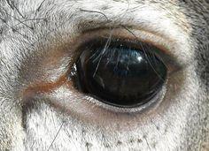 Whitetail: eye close-up