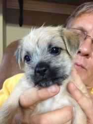 Baz is an adoptable Shih Tzu Dog in Milwaukee, WI. This is Baz who is our adorable 10 week old male Shih Tzu mix rescue. He is so sweet and precious. He will have his appropriate puppy shots, will b...