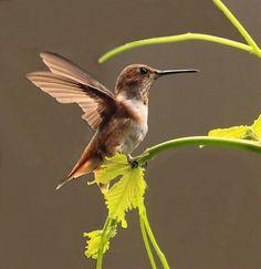 A Rufous Hummingbird landing on a grape vine stem.