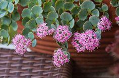 Évelők a balkonon - Botanikaland. Succulents, Plants, Gardening, Garten, Succulent Plants, Planters, Lawn And Garden, Garden, Plant