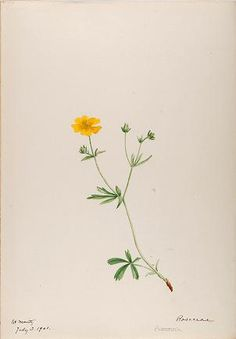 [Water-color sketches of plants of North Americ...