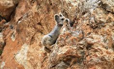 Disappearing: Ili Pika population is believed to have declined by 70 per cent since its discovery in 1983
