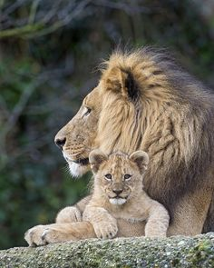 The sweetest wee baby Lion cub with it's dad. Lion Images, Images Esthétiques, Lion Pictures, Cute Animal Pictures, Beautiful Cats, Animals Beautiful, Cute Baby Animals, Animals And Pets, Big Cats