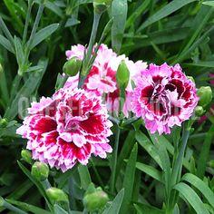 image de Dianthus Everlast Lilac Eye