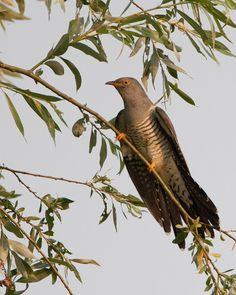 Cuckoo (Cuculus canorus), koekoek