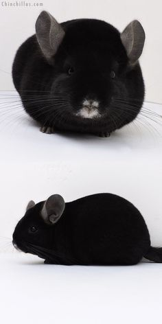 Premium Quality Ebony Female Chinchilla Super Cute Animals, Like Animals, Cute Baby Animals, Animals And Pets, Funny Animals, Chinchilla Cute, Hamster, Fauna, My Animal