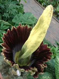 The corpse flower. In bloom at the Missouri Botanical Gardens, one of one hundred and fifty four to have ever bloomed in the history of the world. The blooms are about six feet tall and three feet wide. Amazing!!