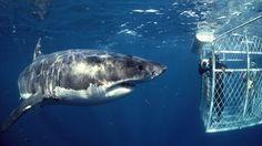Erschreckende Aufnahmen: Größter weißer Hai bricht in Käfig mit Tauchern ein