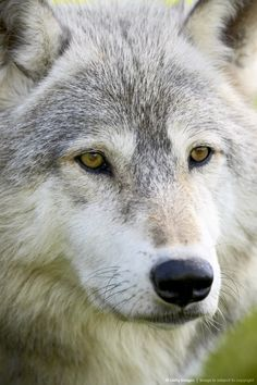 ☀Gray wolf Canis lupus in captivity, Sandstone, Minnesota, United States of America, North America