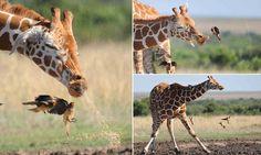 Giraffe almost soaks birds with giant sneeze #DailyMail