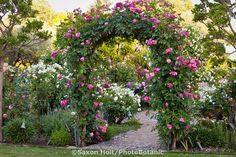 Hybrid Climbing Rose (Rosa ) 'Berries 'n' Cream' bi-color rose on entry arch over path into country garden room