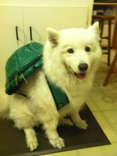 Meme the Ninja Turtle Samoyed!