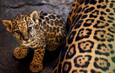 Jaguar cub with mom. Notice the spots: a jaguar has a pattern within each spot reminiscent of an ink mark done with two fingers and thumb held together. A leopard has no such marking within its spots Beautiful Creatures, Animals Beautiful, Beautiful Cats, Baby Jaguar, Gato Grande, Here Kitty Kitty, Baby Kitty, Cute Baby Animals, Animal Pictures