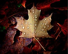 Maple Leaf by Dana Prost. Camera: Nikon D80; Focal Length: 48mm; Shutter Speed: 1/125 s; Aperture: f/4.8; ISO/Film: 200