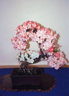 Bonsai Azálea Em Flor
