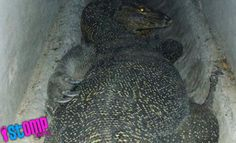 Huge creature lurking in Pasir Ris Park drain gives jogger the shock of his life
