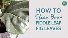 After a year or so, your fiddle leaf fig is likely suffocating with dirt and dust. To keep it alive and well, you'll need to clean the leaves to remove any d. Fig Leaves, Tree Leaves, Plant Leaves, Fiddle Leaf Fig Tree, Fiddle Fig, Types Of Houseplants, What To Use, Spider Plants, Plant Care