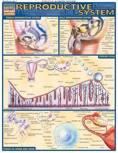 Medical and Health Science: Reproductive system! Online Nursing Schools, Nursing Tips, Nursing Programs, Nursing Books, Human Anatomy And Physiology, Medical Coding, Reproductive System, Respiratory System, Endocrine System