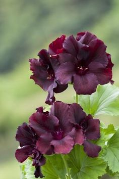 [pelargonium 'Dark Secret', available from Sarah Raven]