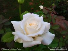 'Pope John Paul II' Hybrid Tea Rose - It's What's Blooming This Week In My Alabama Rose Garden | The Redneck Rosarian