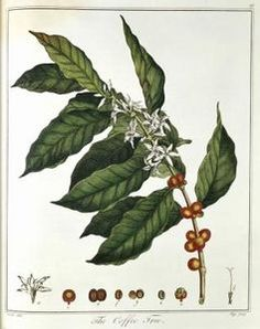 Also called Arabian coffee, coffee plant (Coffea arabica) is one of several species responsible for providing the coveted beans used to make the coffee beverage. Coffee plant is. Coffee Art, Coffee Poster, Coffee Time, Coffee Shop, Owl Coffee, Coffee Drawing, Coffee Painting, Coffee Cozy, Latte Art