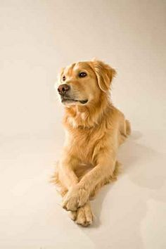 carson_golden__dog_crossed by chippawwa_photos, via Flickr