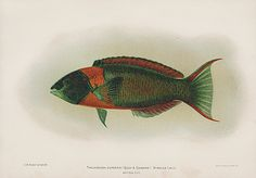 Thalassoma duperrey United States Fish Commission Volume 23 Bien Fishes Hawaii 1903