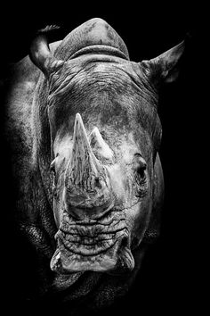 health photography SaarBlende - Photography: Portrait of a white rhinoceros - . - SaarBlende Photography: Portrait of a white rhinoceros - Jungle Animals, Animals And Pets, Baby Animals, Tier Wallpaper, Animal Wallpaper, Animals Black And White, Black And White Pictures, Amazing Animals, Animals Beautiful