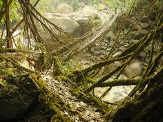 Living bridges, local people braid the brand new seedlings together and they form this.