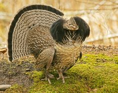 Black forest grouse