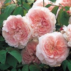 Squishy pink Miss Alice, from David Austin Roses