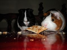 My guinea pigs, Chocolate and Mordelon!