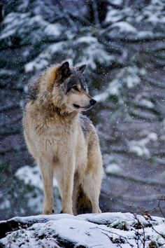 wolverxne:  Timber Wolf ~ by: Michael Cummings