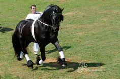 Friso fan S. at the #avisderby #longlines #friesian #friesianhorse #stallion #horse