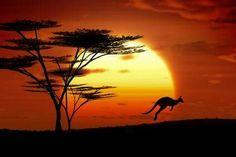 Kangourou au crépuscule