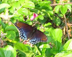 Red Spotted Admiral Butterfly  Profits donated to March by 27Lines
