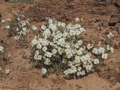 Pale Evening Primrose Toadstools. This photo, of Pale Evening Primrose, was taken at the Toadstools in Grand Staircase-Escalante National Monument, in southern Utah near the Arizona border. Nature, outdoor, wildlife and landscape scenes photographed by NaturesPix
