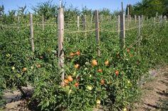 afectate și se distrug astfel ca să nu Tomato Farming, Wisteria, Diy And Crafts, Home And Garden, Outdoor Structures, Landscape, Architecture, Nature, Image