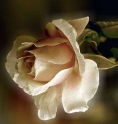 The Fallen Rose by Ph0t0-girl on DeviantArt