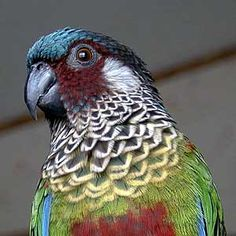 Painted Conure... WANT!