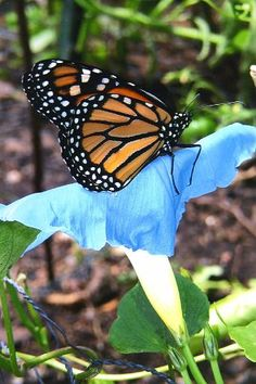 "A monarch ""riding"" a blue morning glory"