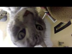 GoPro HD: Big Maine Coon Cat.  Sean Coonery is one of the biggest Maine Coon cats in the world. He is the most famous cat on YouTube and has millions of video views.  Please share this big Maine Coon cat video with others and check out my other huge Maine Coon cat videos too!  Cheers!  Filmed with GoPro camera.