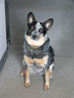 This is my pup Pepper. She's my fearless, loyal defender. #Australian Cattle Dog #Blue Heeler