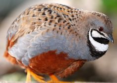 Chinese painted quail(Coturnix chinensis). Such a beautiful breed! They are half the size of Japanese quail. Their lifespan is five to seven years. #quail #genera