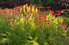 NGB celebrates 2014 as year of the Echinacea. Doesn't it look striking with the yellow kniphofia?